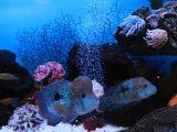 Акары бирюзовые: самец и самка